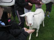 Goat meets the kids..!